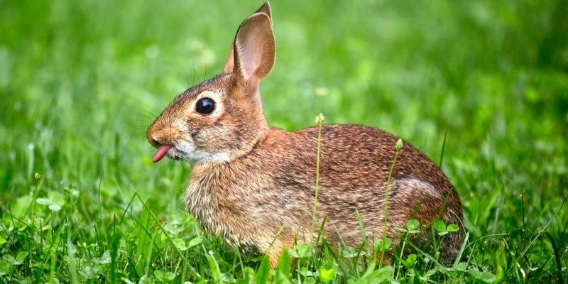 Ein Kaninchen auf einer grünen Wiese, das die Zunge raus streckt